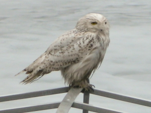 Snowy Owl, Lake Hopatcong, NJ, Mar. 30, 2014