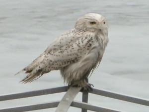 Snowy Owl, Lake Hopatcong, NJ, Mar. 30, 2014