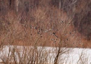 Tree Swallows, Lincoln Park, NJ, Mar. 23, 2014 (photo by Jonathan Klizas)