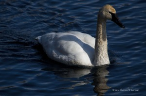 Trumpeter Swan, Denville, NJ, Mar. 1, 2014 (photo by Tom Gorman).