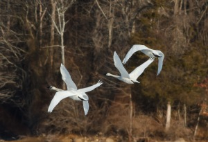 Tundra Swans, Mendham Twp., NJ, Mar. 16, 2014 (photo by Jonathan Klizas).