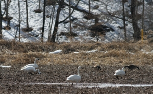 Tundra Swans, Branchburg, NJ, Mar. 15, 2014 (photo by Jeff Ellerbusch)