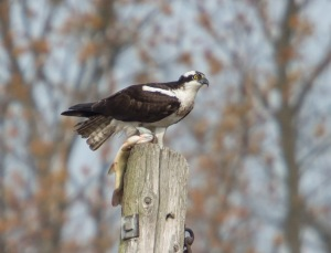 Osprey, Hanover Twp., NJ, Apr. 13, 2014 (photo by Chuck Hantis)
