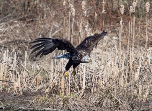 Bald Eagle, Hanover Twp., NJ, Apr. 12, 2014 (photo by Chuck Hantis).