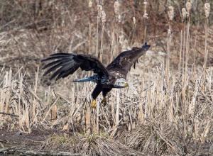 Bald Eagle, Hanover Twp., NJ, Apr. 12, 2014 (photo by Chuck Hantis).