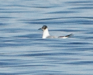 One of four Bonaparte's Gulls at Lake Hopatcong, NJ, Apr. 12, 2014 (photo by Jonathan Klizas)