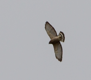 Broad-winged Hawk, Lord Stirling Park, NJ, Apr. 27, 2014 (photo by Jonathan Klizas)