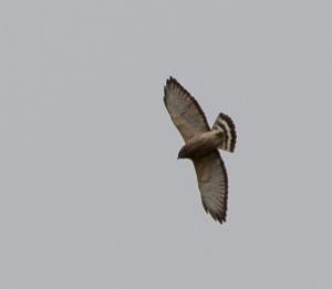 Broad-winged Hawk, Lord Stirling Park, NJ, Apr. 27, 2014 (photo by Jonathan Klizas)