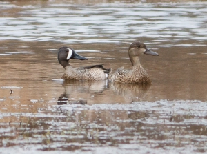 Blue-winged Teal, Loantaka Brook Reservation, NJ, Apr. 11, 2014 (photo by J. Klizas).