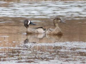 Blue-winged Teal, Loantaka Brook Reservation, NJ, Apr. 11, 2014 (photo by J. Klizas).