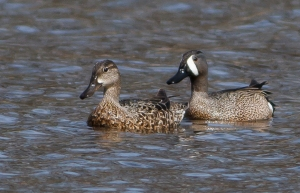Blue-winged Teal, Loantaka Brook Reservation, NJ, Apr. 19, 2014 (photo by J. Klizas).