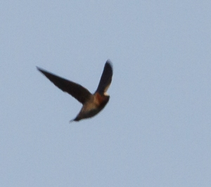 Cliff Swallow, Boonton Reservoir, NJ, Apr. 20, 2014 (ID record photo by J. Klizas)