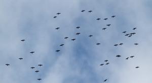 Double-crested Cormorants, Lord Stirling Park, NJ, Apr. 27, 2014 (photo by Jonathan Klizas).