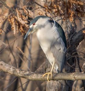 Black-crowned Night-Heron, Parsippany, NJ, Apr. 1, 2014 (photo by Chuck Hantis).