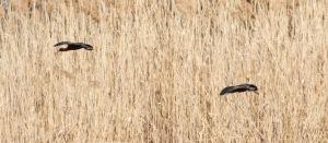 Glossy Ibis, Hanover, NJ, Apr. 20, 2014 (photo by J. Klizas).