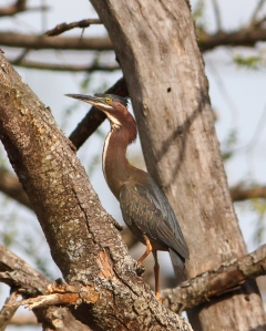 Green Heron, Hanover Twp., NJ, Apr. 14, 2014 (photo by J. Klizas).