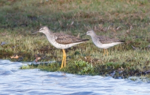 Greater and Lesser Yellowlegs, Lincoln Park, NJ, Apr. 9 2014 (photo by Jonathan Klizas)