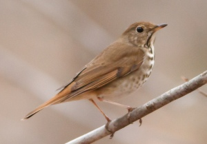 Hermit Thrush, Rockaway Twp. NJ, Apr. 13, 2014 (photo by J. Klizas).
