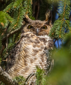 Great Horned Owl, Franklin Twp., NJ, Apr. 16, 2014 (photo by Chris Duffek).