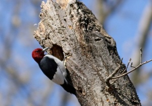 Red-headed Woodpecker, Bee Meadow Park, NJ, Apr. 24, 2014 (photo by Jill Homcy).