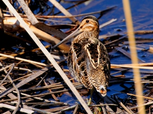 Wilson's Snipe, Great Swamp NWR, NJ, Apr. 1, 2014 (photo by Jim Mulvey).
