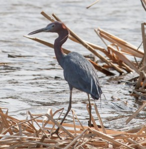 Little Blue Heron, Loantaka Brook Reservation, NJ, Apr. 14, 2014 (photo by Jonathan Klizas)