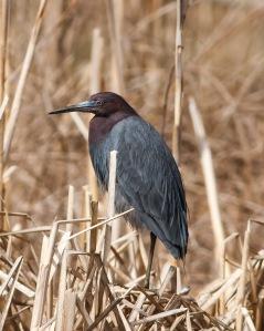 Little Blue Heron, Loantaka Brook Reservation, NJ, Apr. 19, 2014 (photo by Jonathan Klizas).