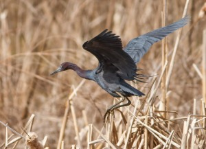 Little Blue Heron, Loantaka Brook Reservation, NJ, Apr. 19, 2014 (photo by Jonathan Klizas).