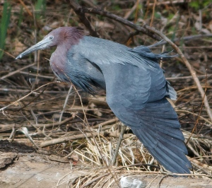 Little Blue Heron, Loantaka Brook Reservation, NJ, Apr. 17, 2014 (photo by Jonathan Klizas).