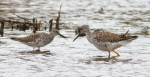 Lesser and Greater Yellowlegs, Hanover Twp., NJ, Apr. 27, 2014 (photo by J. Klizas)