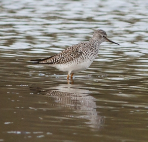 Lesser Yellowlegs, Hanover Twp., Apr. 25, 2014 (photo by Jonathan Klizas)