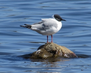 Bonaparte's Gull, Lk. Musconetcong, NJ, Apr. 28, 2014 (photo by Tom Halliwell)