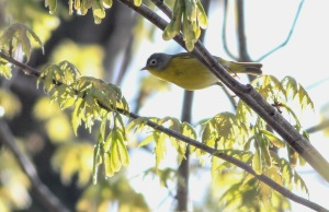 Nashville Warbler, Franklin Twp., NJ, Apr. 26, 2014 (photo by Jeff Ellerbusch)