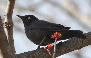 Rusty Blackbird, Florham Park, NJ, Apr. 8, 2014 (photo by Jonathan Klizas).
