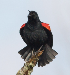 Red-winged Blackbird, Hanover Twp., NJ, Apr. 26, 2014 (photo by J. Klizas)