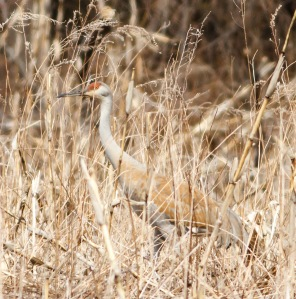 Sandhill Crane, Hillsborough Twp., NJ, Apr. 11, 2014 (photo by Jonathan Klizas).