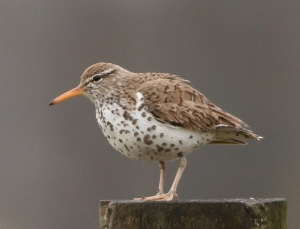 Spotted Sandpiper, Florham Park, NJ, Apr. 26, 2014 (photo by Jonathan Klizas).