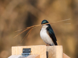 Tree Swallow, Lord Stirling Park, NJ, Apr. 19, 2014 (photo by J. Klizas).
