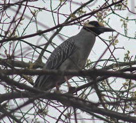 Yellow-crowned Night-Heron, Lord Stirling Park, NJ, Apr. 29, 2014 (photo by Rob Gallucci)