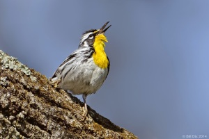 Yellow-throated Warbler, Franklin Twp., NJ, Apr. 16, 2014 (photo by Bill Dix).