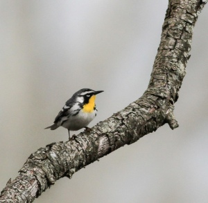 Yellow-throated Warbler, Lord Stirling Park, NJ, Apr. 26, 2015 (photo by Jeff Ellerbusch)