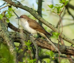 Black-billed Cuckoo, Great Swamp NWR, NJ, May 12, 2014 (photo by Simon Lane)
