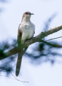 Black-billed Cuckoo, Franklin Twp., NJ, May 12, 2014 (photo by Chris Duffek)