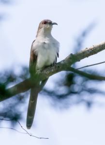 Black-billed Cuckoo, Franklin Twp., NJ, May 12, 2014 (photo by Chris Duffek)