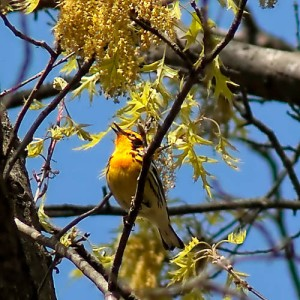 Blackburnian Warbler, Lord Stirling Park, NJ, May 7, 2014 (photo by Rob Gallucci)