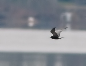 Black Tern, Budd Lake, NJ, May 8, 2014 (photo by Jonathan Klizas)