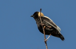 Bobolink, Harding Twp., NJ,  May 3, 2014 (photo by Jonathan Klizas)