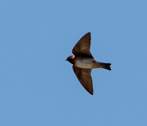Cliff Swallow, Boonton Reservoir, May 3, 2014 (photo by J. Klizas)