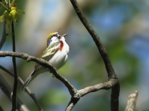 Chestnut-sided Warbler, Mt. Olive Twp., NJ, May 17, 2014 (photo by Jonathan Klizas)