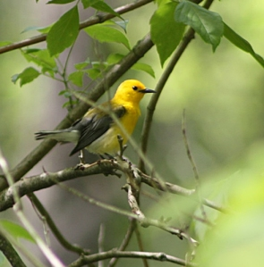 Prothonotary Warbler, Bedminster Twp., NJ, May 26, 2014 (photo by Frank Sencher, Jr.)